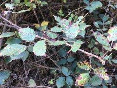 Blackberry-Leaf-at-Brindabella.jpg