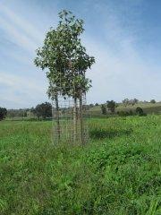 Paddock-Trees-3.JPG